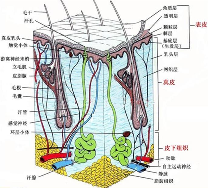 人体皮肤组织结构彩色示意图